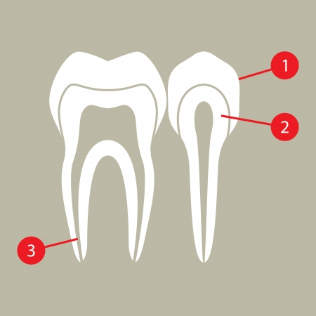 Diagram of teeth Vector