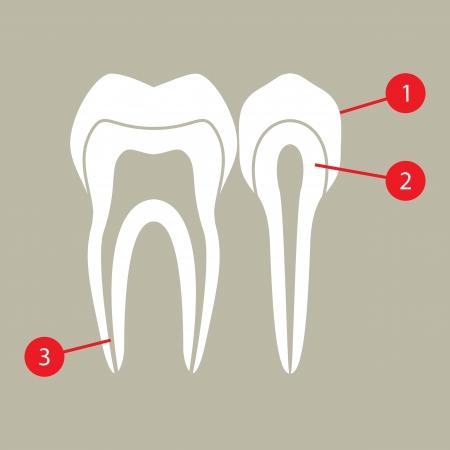 molar: Diagram of teeth