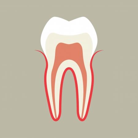 dental pulp: Tooth Illustration