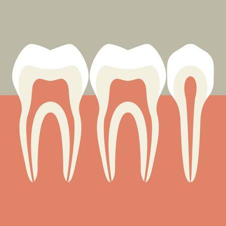 dental pulp: Teeth Illustration