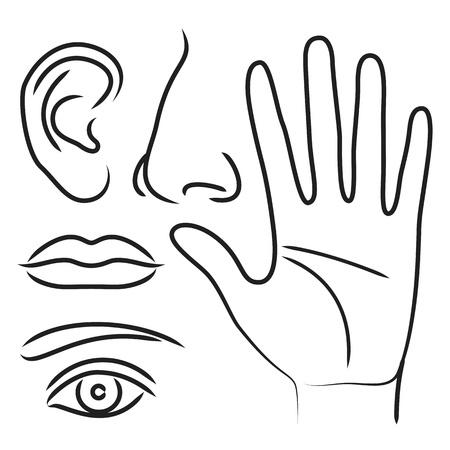 partes del cuerpo humano: Órganos de los sentidos mano, la nariz, los oídos, la boca y los ojos