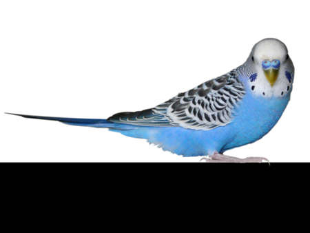 petshop: Wavy house blue parrot isolated on a white background Stock Photo