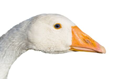 feathery: Head of the goose close up isolated on a white background
