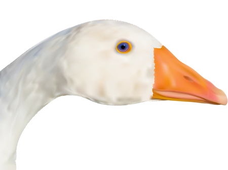 feathery: Head of the goose close up in a vector - gradient mesh Illustration