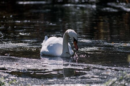 A Swan Dribbling Water from its Bill