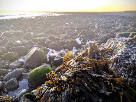 Marrone e alghe verdi che crescono su una roccia con la bassa marea all'alba su una spiaggia di pietra a Cape Cod, Massachusetts, New England con pozze di marea e cirripedi. Archivio Fotografico
