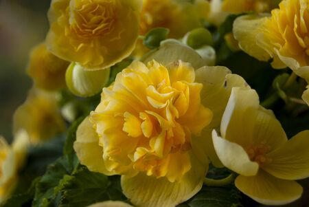 Creamy yellow begonia cluster with soft low light and an out of focus background. 版權商用圖片