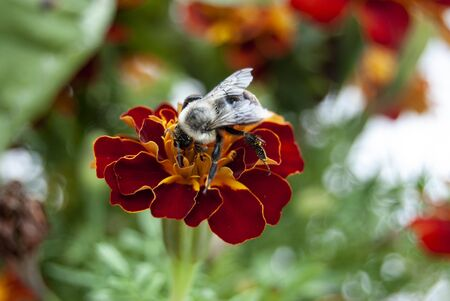 Closeup of a Bee On a Flower Collecting Pollen Stock Photo