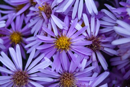 A Bunch of Purple Daisies with Yellow Centers