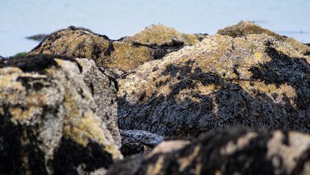 Irish Moss Seaweed and Barnacles Cling to a Rock