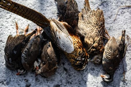 Dead Game Birds Lined Up After A Hunt In Winter