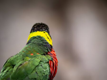 A Rainbow Lory Looks Away From Camera With Copy Space Banco de Imagens
