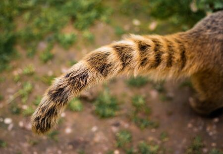 The Ring Tail of A Coati In Closeup with an out of focus background.