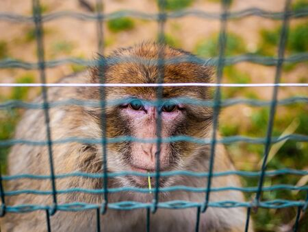 A Barbary Macaque Eats A Strand Of Grass From Behind Bars