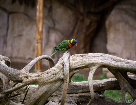 A Lorikeet Is Perched On Driftwood With Flies Over Its Head Banco de Imagens