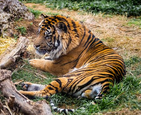 A rare tiger looking at something out of frame with a stern look. Banco de Imagens