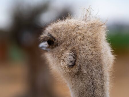 A fuzzy ostrich head in close up against an out of focus background.