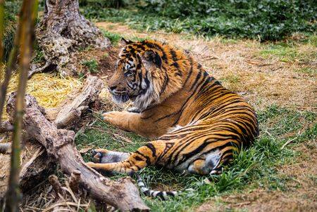 An orange and black striped big cat near some wood and a tree.
