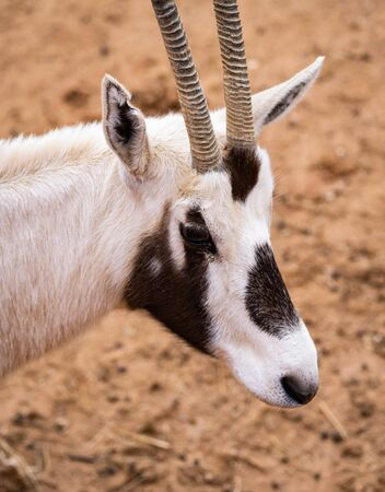 The Portrait Of An East African Oryx In The Desert Banco de Imagens