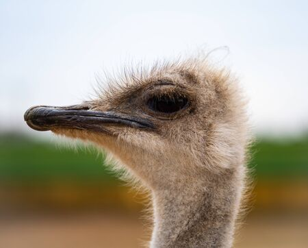 An Ostrich looks disdainfully down on the viewer.
