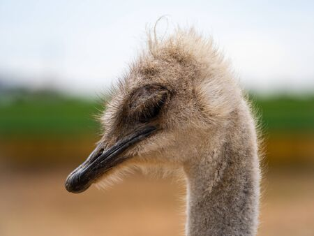 Close up of a female ostrich with a black beak and heavy eye lids.