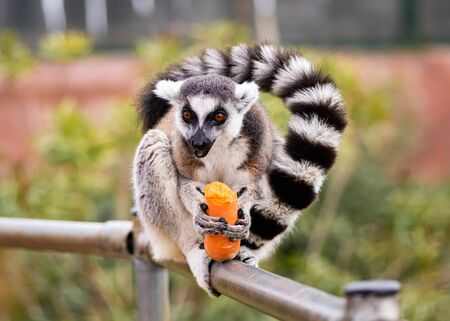 A Ring Tailed Lemur Sitting On a Fense Eating A Carrot
