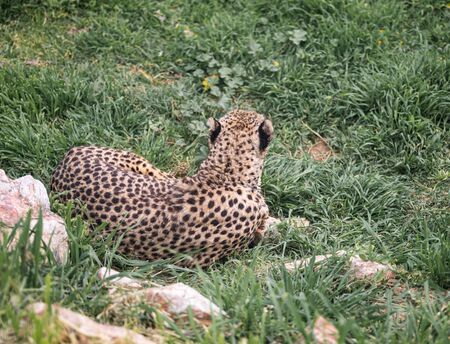 A Cheetah Looks Away From Camera As It Rests In The Grass
