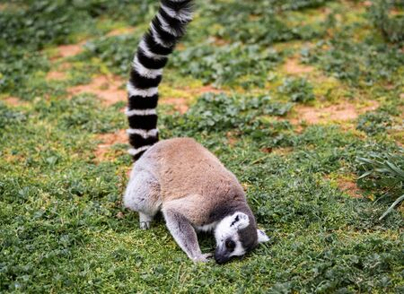A black and white monkey on the ground touching the green grass with its face.