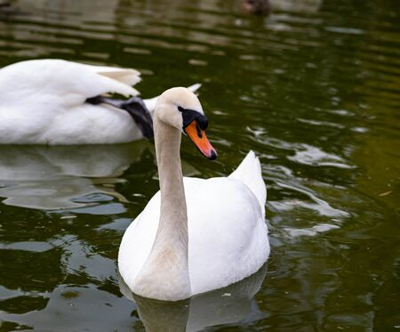 A Swan With Dirty White Feathers and An Orange Bill