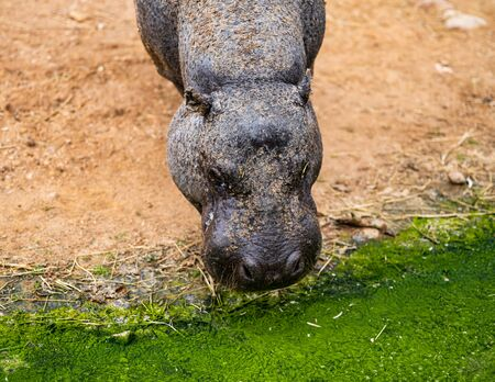 A Pygmy Hippo Drinks From Dirty Green Water Banco de Imagens