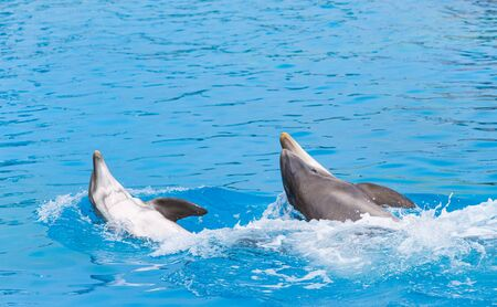 Two Bottle Nosed Dolphins Roll Around In the Water