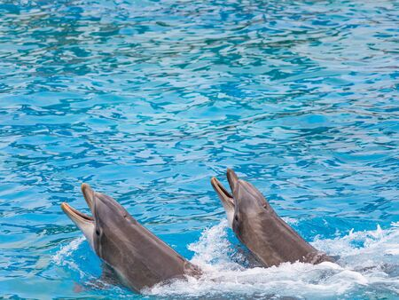 Splashing and playing, two dolphins swim through bright blue water.