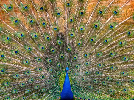 Beautiful Display of Train of Feathers On An Indian Peafowl Banco de Imagens