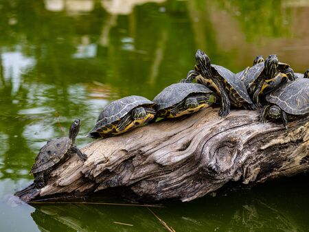 turtles group together and pile on top of eachother on wood in the green water.
