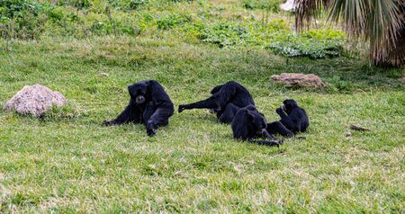 A Family Of Gibbons Hang Out Together On The Grass