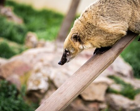 A Ring-Tailed Coati on a Long Tree Branch Looks Down At Something Banco de Imagens