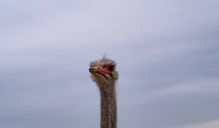 An Ostrich Looks Doubtfully Down On The Viewer