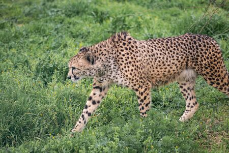 A cheetah paces around in the spring looking at something cautiously.