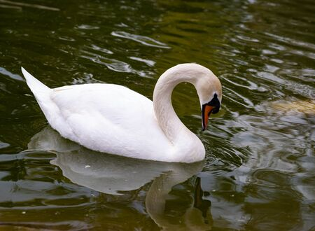 Green water and a white swan with an orange bill and a black eye.