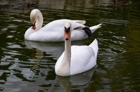 two swans float on green water and look clean with bright white feathers. Banco de Imagens