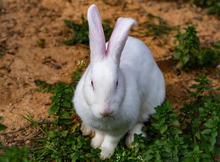 Floppy eared bunny with white fur and pink skin in the dirt.