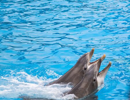 Two bottle nosed dolphins swim with their mouths open