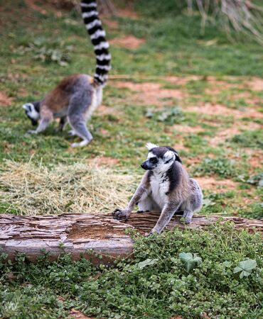 Two Ring Tail Lemurs Sit On The Ground Banco de Imagens