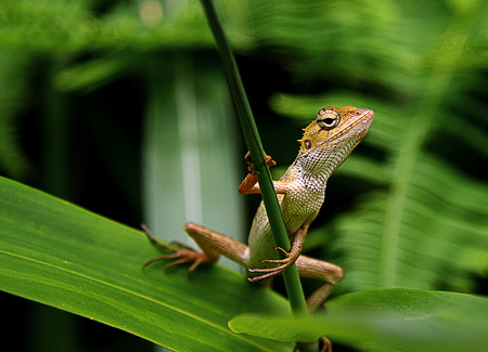 climbed: fearless lizard, looks like its playing a guitar