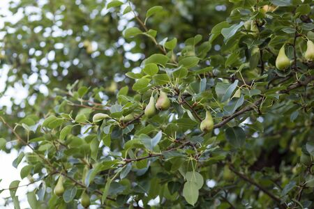 Green pears growing on a pear tree