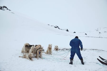 Man in blue coverall rigging up sled dogs to sled