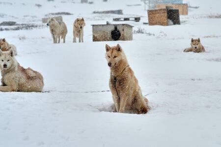 Chained orange brown sled dog looking fierce Banco de Imagens