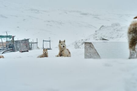 Sled dog in Ilulissat Greenland looking after its pups Banco de Imagens