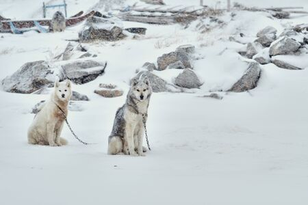 Two sled dogs chained sitting in snowy weather in Ilulissat Greenland