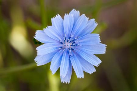 chicory flower: Chicory flower